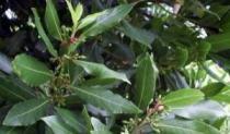 Lovor - ljekovita biljka