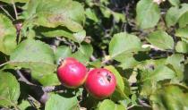 Kraljica voća - jabuka