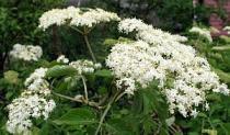 Ljekovita mirisna biljka - Bazga ili zova