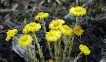 Ljekoviti vjesnik proljeća - podbjel