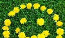 Maslačak - Ljekovita biljka ili korov