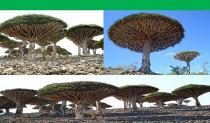 Čudo prirode - Arhipelag Socotra