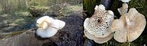 Tigrasta busenjača - Ukusna gliva iz naših područja