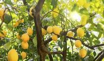 Napitak od limuna i češnjaka za snižavanje masnoće u krvi